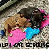 Adopt A Pet :: Scrounger - Wyoming, MI