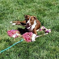 Adopt A Pet :: Flava Flav - Dayton, OH