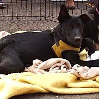 Adopt A Pet :: Shiloh - Evergreen, CO