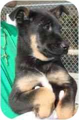 Labrador Retriever/German Shepherd Dog Mix Puppy for adoption in Hammonton, New Jersey - Baker - pending