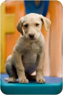 Labrador Retriever Mix Puppy for adoption in Portland, Oregon - Jimmy