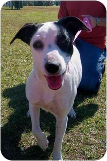 Fox Terrier (Smooth) Mix Puppy for adoption in Jacksonville, North Carolina - Maggey