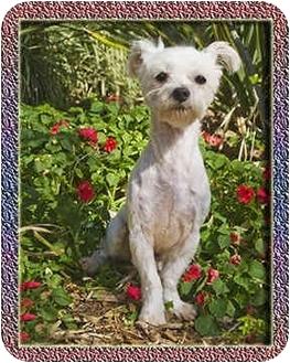 Maltese Dog for adoption in North Palm Beach, Florida - Apollo