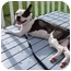 Photo 2 - Boston Terrier Dog for adoption in Juniper Mountain, Nova Scotia - DEXTER