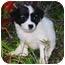Photo 1 - Welsh Corgi/Papillon Mix Puppy for adoption in San Clemente, California - Sunshine