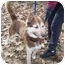 """Photo 3 - Husky Mix Puppy for adoption in Various Locations, Indiana - """"Hans is Urgent"""""""