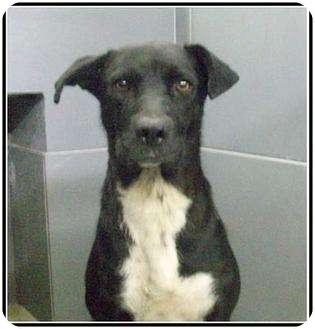 Labrador Retriever Mix Dog for adoption in staten Island, New York - Jill