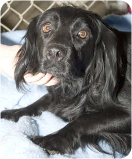 Spaniel (Unknown Type) Mix Dog for adoption in Tangent, Oregon - Olivia