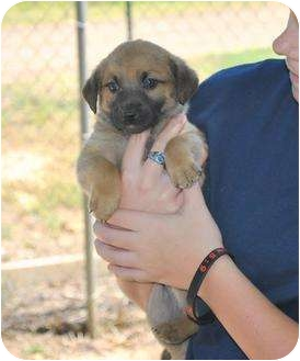 Black Mouth Cur/Shepherd (Unknown Type) Mix Puppy for adoption in Stafford Springs, Connecticut - Magnus