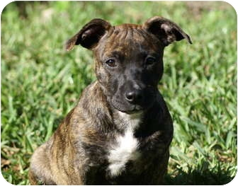 Basset Hound/American Pit Bull Terrier Mix Puppy for adoption in West Palm Beach, Florida - BLOSSOM