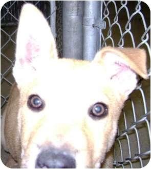 Labrador Retriever/German Shepherd Dog Mix Puppy for adoption in Cibolo, Texas - Max