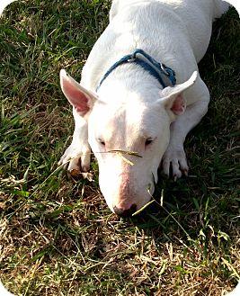 Bull Terrier Dog for adoption in Sachse, Texas - Blanca