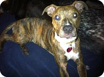 American Staffordshire Terrier Mix Dog for adoption in justin, Texas - Roxie