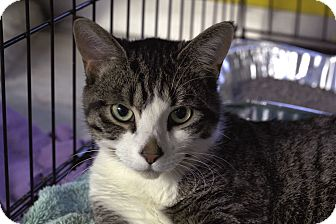Domestic Shorthair Cat for adoption in Chicago, Illinois - Huckleberry