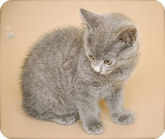 Domestic Shorthair Kitten for adoption in Trevose, Pennsylvania - Abia
