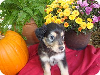 Rat Terrier/Jack Russell Terrier Mix Puppy for adoption in Fort Worth, Texas - PECOS