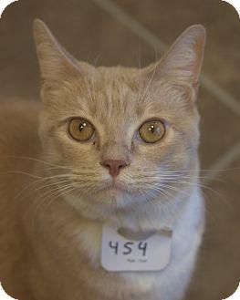 Domestic Shorthair Cat for adoption in Cumming, Georgia - Creamsicle