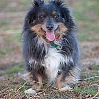 Adopt A Pet :: Smokie - Washoe Valley, NV