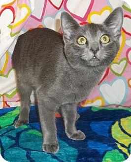 Russian Blue Cat for adoption in Rapid City, South Dakota - Lasgo
