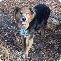 Adopt A Pet :: Lillie - Petaluma, CA