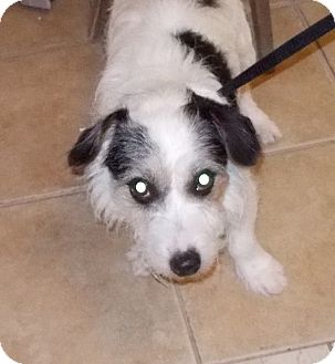 Jack Russell Terrier Mix Dog for adoption in Middletown, New York - Jack