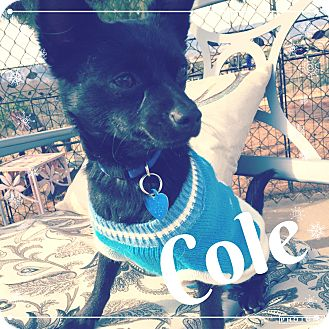 Chihuahua/Terrier (Unknown Type, Small) Mix Dog for adoption in Lake Elsinore, California - Cole