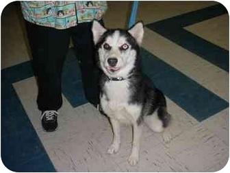 Siberian Husky Dog for adoption in Various Locations, Indiana - SASHA