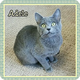 Russian Blue Kitten for adoption in Atco, New Jersey - Adele