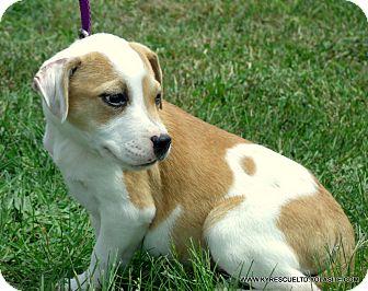 Beagle/Labrador Retriever Mix Puppy for adoption in Waterbury, Connecticut - SMORES~ADOPTED