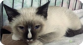 Snowshoe Kitten for adoption in Forest Hills, New York - Frenchie