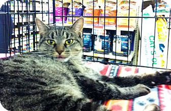 Domestic Shorthair Cat for adoption in Fenton, Missouri - MIRANDA