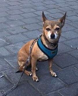 Chihuahua Mix Dog for adoption in Milpitas, California - Pepito
