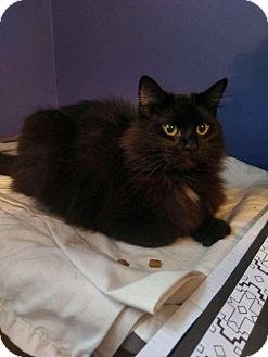 Domestic Longhair Cat for adoption in Hampton, Virginia - AUDREY