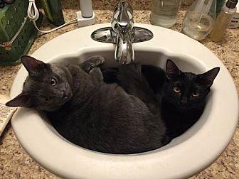 Domestic Mediumhair Cat for adoption in Monrovia, California - Butter