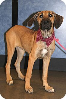 Great Dane Mix Puppy for adoption in New Oxford, Pennsylvania - Gretal