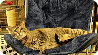 Domestic Shorthair Cat for adoption in West Des Moines, Iowa - Leilani