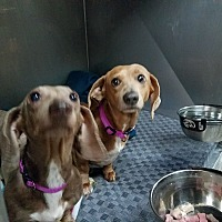 Adopt A Pet :: Annabell - Lubbock, TX