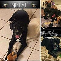 Labrador Retriever/Border Collie Mix Dog for adoption in Germantown, Tennessee - Jack