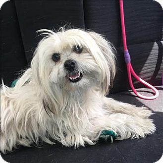Maltese/Shih Tzu Mix Dog for adoption in Encino, California - Chloe