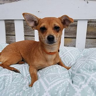Dachshund/Chihuahua Mix Puppy for adoption in Monrovia, California - Foxy