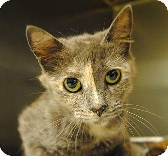 Domestic Mediumhair Cat for adoption in Windsor, Virginia - Honey