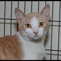 Adopt A Pet :: Apricot - Brick, NJ