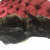 Adopt A Pet :: Fanta - Toronto, ON
