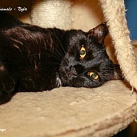 Domestic Shorthair Cat for adoption in Marlboro, New Jersey - Nyla