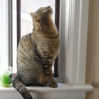 Domestic Shorthair/Domestic Shorthair Mix Cat for adoption in Toronto, Ontario - Bruce Willis