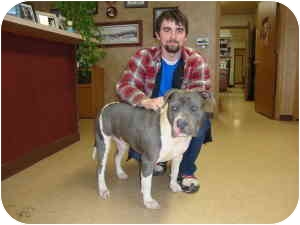 American Pit Bull Terrier Dog for adoption in Jeffersonville, Indiana - Bruno