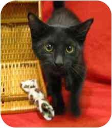 Domestic Mediumhair Kitten for adoption in Milwaukee, Wisconsin - Junior