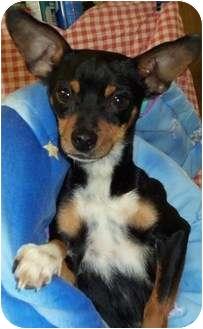 Chihuahua Dog for adoption in Kokomo, Indiana - Max