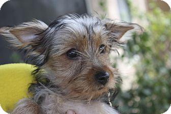 Yorkie, Yorkshire Terrier Puppy for adoption in Phoenix, Arizona - DeeDee