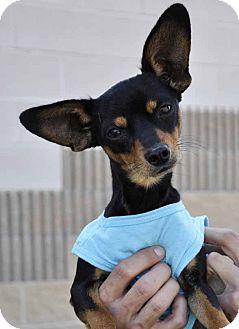 Miniature Pinscher Mix Dog for adoption in Corpus Christi, Texas - Shawn